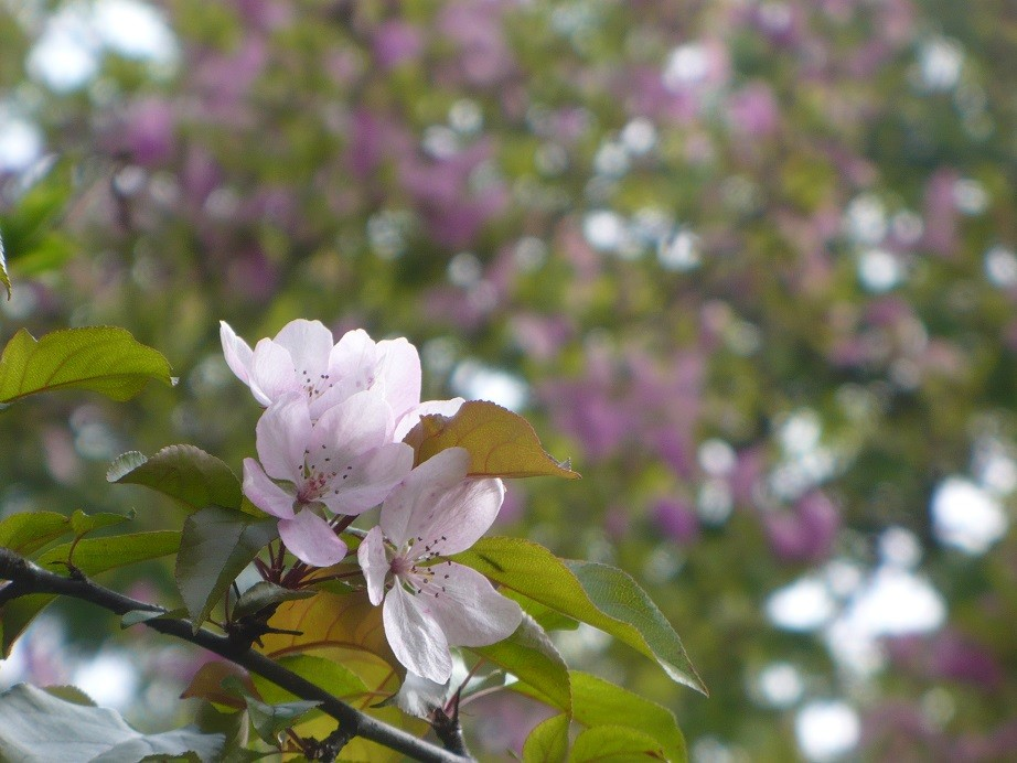 Pozostałe, Majowe love................. - ...........i jabłonka na tle kwitnącej magnolii ...................