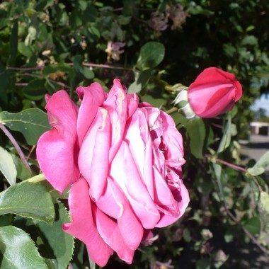 .............i róża.................