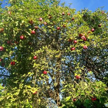 ...............i jabłoń z jabłuszkami..............