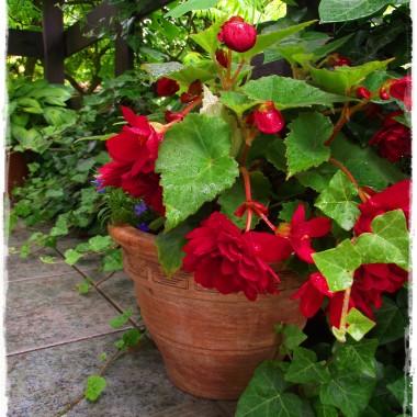 Mój ogród już pachnie latem rozkwita , a końca nie widać &#x3B;