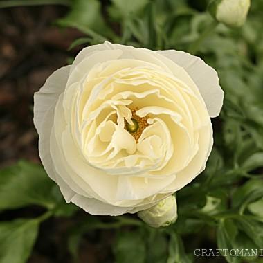jaskier biały