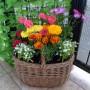 """Balkon, Mój wymarzony """"prawie"""" ogród :) - Kompozycja kwiatowa z werbeny, osteospermum, aksamitki, goździka i lobelii."""