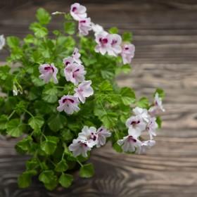 Apteka w ogrodzie i na parapecie: Geranium
