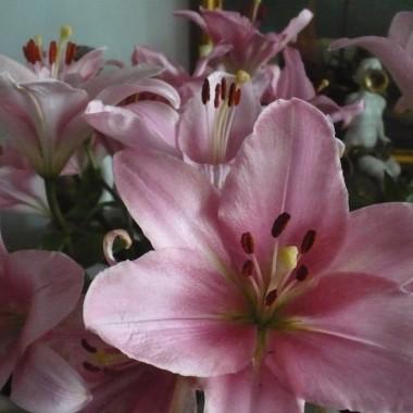 ..................i lilie ..............stoją w wazonie już ponad tydzień................