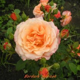 Róże brzoskwiniowe