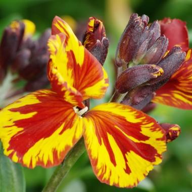 Lak pachnącyLak pachnący to bylina uprawiana jako roślina dwuletnia. Dorasta do kilkudziesięciu centymetrów wysokości. Uprawa jest prosta, gdyż roślina nie ma wygórowanych wymagań. Potrzebuje słońca, przepuszczalnej gleby i  nawadniania. Zakwita w okresie od kwietnia do czerwca. Kwiaty wydzielają intensywny i bardzo przyjemny zapach.
