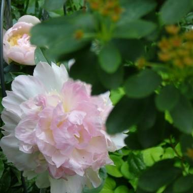 Czerwiec w moim ogrodzie , od ostatniej peoni po rozkwitające róże. W przedogródku szlifuję meble tarasowe przed olejowaniem albo traktuję to miejsce jak letnią kuchnię i robię przetwory. Lubię ten czas na powietrzu, wśród zieleni, najmilszy czas.Z miejsca gdzie piszę, widzę przez otwarte drzwi taras i nieokiełznany winobluszcz, który czasem otula pelargonie i truskawki a czasem migające światłem latarenki.