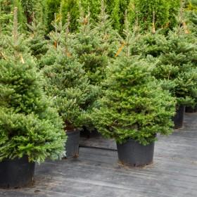 Kiedy kupować drzewa iglaste na choinkę?