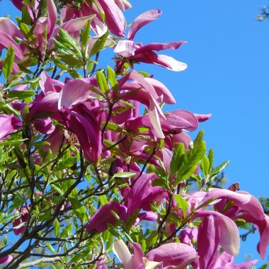 ................i magnolia..............