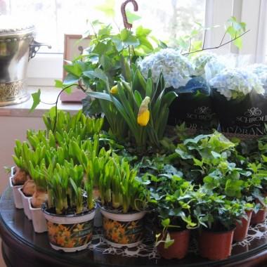 z ogrodniaka wróciłam zadowolona ,ale sadzić musiałam w domu i również w domu kwiaty póki co muszą pozostać .
