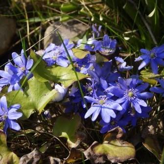 Oznaki wiosny w moim ogrodzie (jeszcze nieśmiałe, ale cieszą)