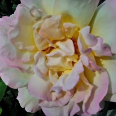 ................i róża w ogrodzie...............