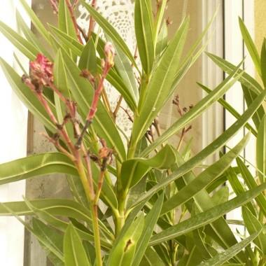 .................i mój oleander wciąż na balkonie ..................no właśnie do kiedy może tam być ?