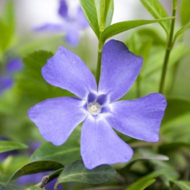 Barwinek pospolityPlanując wiosnę na balkonie, warto zwrócić uwagę na barwinka pospolitego. Jest to bylina ceniona za błyszczące, skórzaste, eliptyczne liście i niebieskie, pięciopłatkowe kwiaty, które kwitną na wzniesionych pędach. Zakwita pięknymi, fioletowo-niebieskimi kwiatami na przełomie kwietnia i maja.Zwisające pędy barwinka doskonale wpisują się w balkonowe aranżacje, gdyż nawet po przekwitnięciu jego walory dekoracyjne są imponujące ze względu na zimozielone liście. Przy tym barwinek pospolity nie jest wymagający i może zamieszkiwać w doniczce przez wiele lat.