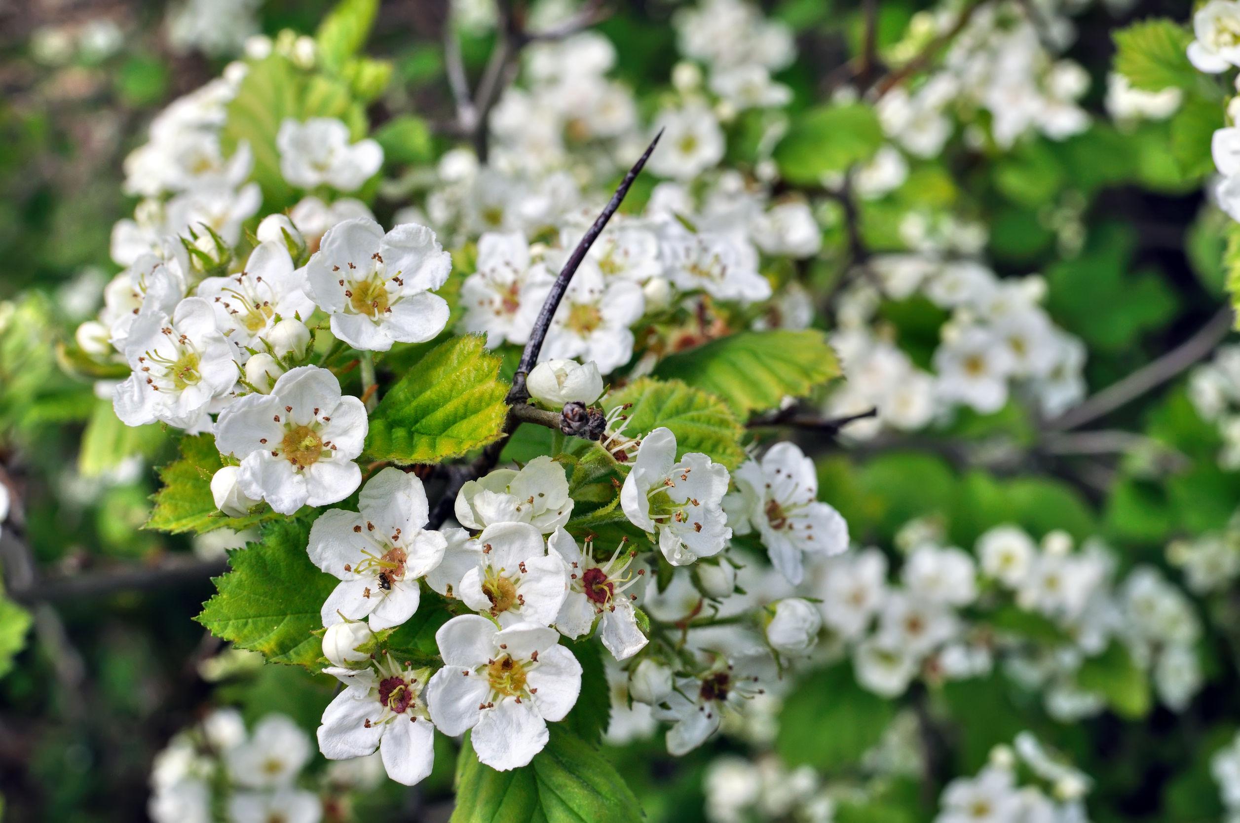 Białe kwiaty głogu