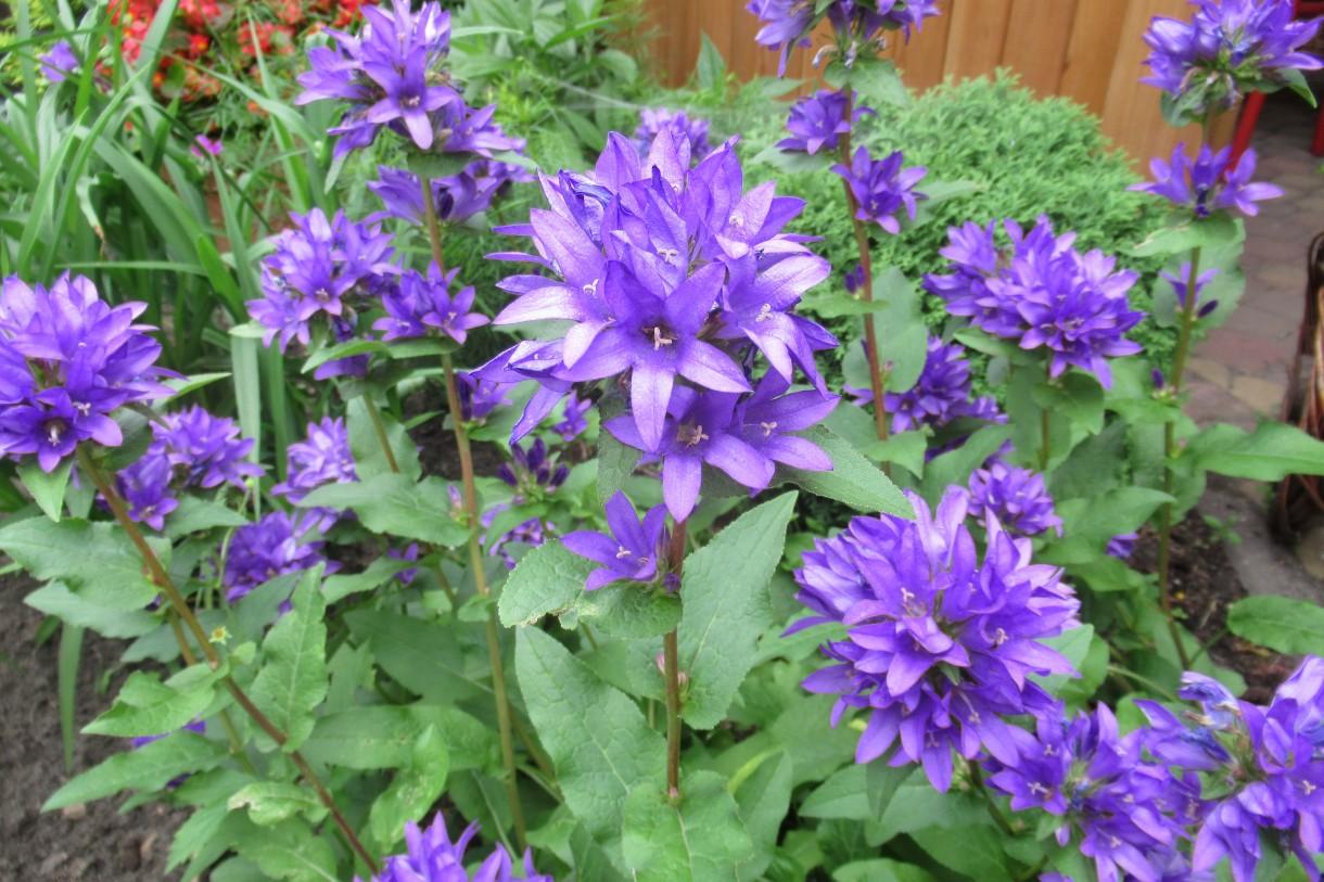 Rośliny, Mój wiejski,ukwiecony ogródek. - ..