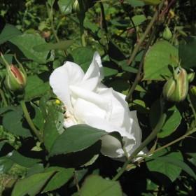 Moje  ulubione róże  zakwitły