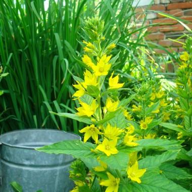Wiem....wiem....macie dosyć kwiatków....ale ja tylko na chwilę wpadam,aby się przypomnieć....żyję,to najważniejsze :) Pozdrawiam !!!