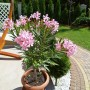 Realizacje, W mini ogródku. - Oleander
