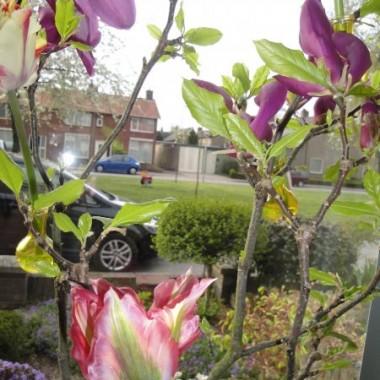 Tulipanowe wariacje