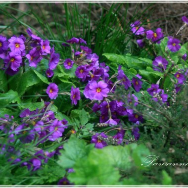 W uroczysku kwiaty które same się wysiały...