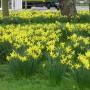 Rośliny, Przywolywanie wiosny :) - Zonkile - blisko miejsca gdzie mieszkamy :)