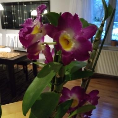 Dendrobium znowu wypuszcza pączki