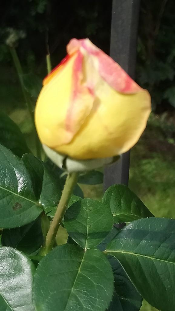 Rośliny, Czerwcowe róże ................. - ...............i róża herbaciana...............