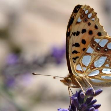 Motylki żywą ozdobą mojego ogrodu!