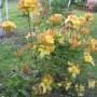 Rośliny, KWIATY - Azalia
