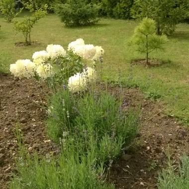 A tu tegoroczny nabytek ... zachwyca ogromnymi kwiatami i pięknie wygląda w towarzystwie lawendy...