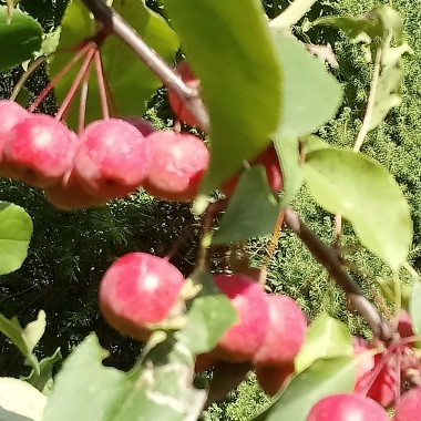 .................i jabłuszka dekorują ogród............