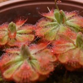 Owadożerna roślina, która nie wymaga dużo opieki