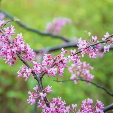 Judaszowiec to jeden z najpiękniejszych drzew i krzewów ozdobnych, które można uprawiać w Polsce. Te drzewa kwitnące każdego zauroczą swoimi przepięknymi kwiatami, które utrzymują się przez dłuższy czas. To wiosenne drzewo, na którym kwiaty pojawiają się nie tylko na pędach, ale także na konarach, a nawet na pniu. Z tego względu kwitnący krzew to naprawdę niezapomniany widok.