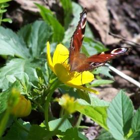 Kaczeńce, zawilce, motyle i pszczoły