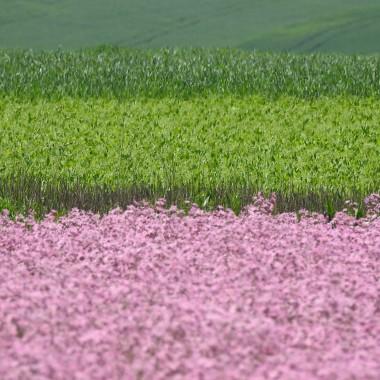 """Łąki kwietne to moje ulubione.Znam takie miejsce gdzie uprawia się zioła i rośliny łąkowe z przeznaczeniem dla farmacji i ziołolecznictwa...Te łąki są bajecznie kolorowe...pachnące ...tętniące życiem pszczół,motyli i innych owadów...Byłam wczoraj ...zachwyciła mnie uprawa szałwi łąkowej i firletki...tuż za domem rosną orliki....w oddali złocień,biała marchew....Właściciel z dumą opowiada o swoich uprawach...ja słucham jak zaczarowanej bajki ...zachwycam siębo to bajka pt """" Million flowers"""""""