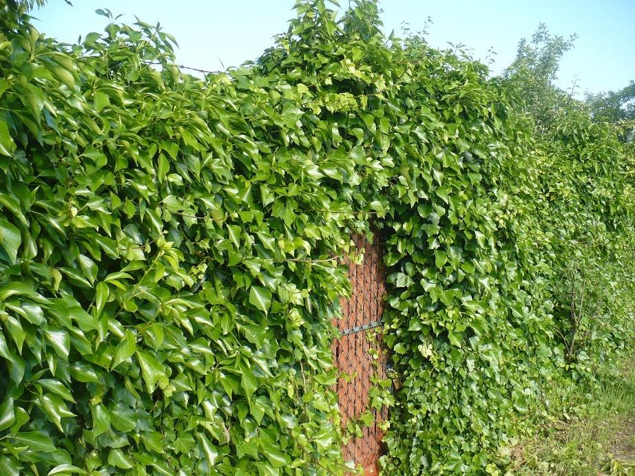 Pozostałe, Letnie klimaty................ - ..............i zielony bluszcz.................