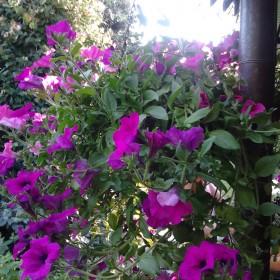 Ogród mamy - lipiec 2013