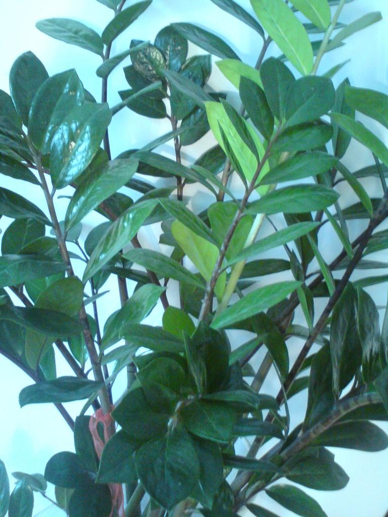 Rośliny, zielony parapet - Zamiaoculcas