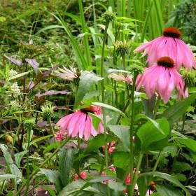Lipcowy ogród