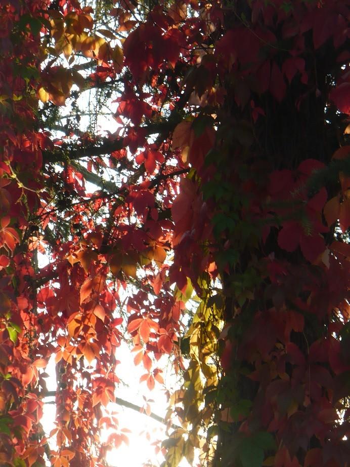 Pozostałe, Galeria jesienna.................październikowa............. - ................i dzikie wino..................