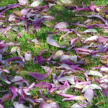 .............i dywan z magnolii............
