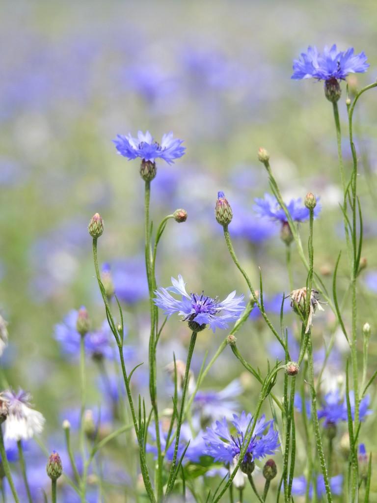 Rośliny, BLUE...