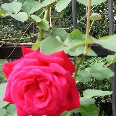 ..................i róża...............