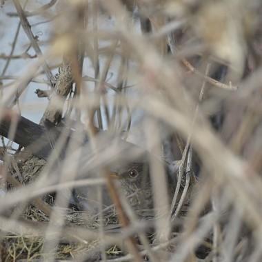 pod oknem sypialni zadomowiła się  rodzinka kosów, było tyle radości bo to druga próba, zeszłej wiosny ptaki porzuciły gniazdo z jajami, teraz były trzy pisklęta już zaczynające się pierzyć...zabrakło im tygodnia...najprawdopodobniej gniazdko spadło, znalazłam rankiem nie żyjące już pisklątka na ziemi...rodzice jeszcze odwiedzają to miejsce...wiem, że kosy w ciągu okresu lęgowego zakłądają kilka gniazd, bardzo bym chciała by jeszcze raz zadomowiły się u mnie bo patrzenie na patsią rodzinkę sprawia tyle radości:)