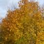 Pozostałe, Listopadowe małe radości................ - ................i złoty klon..........