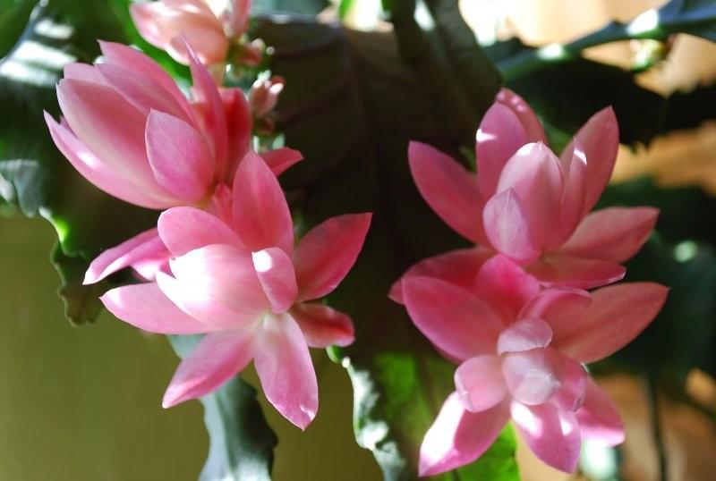 Rośliny, Epifyllum