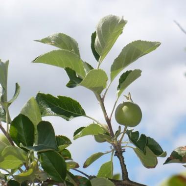 ................i jabłuszko rośnie..................