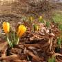 """Rośliny, Przedwiośnie - Crocus vernus,""""Large Yellow"""". Dziko rosnące populacje krokusów w Sudetach, są zaliczane do tego gatunku."""