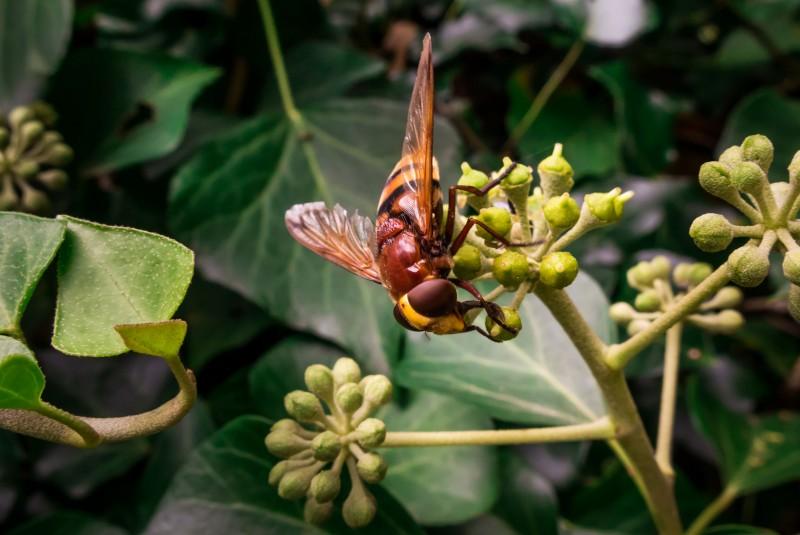 Szerszeń azjatycki (Vespa velutina nigrithorax). Te owady są niebezpieczne!